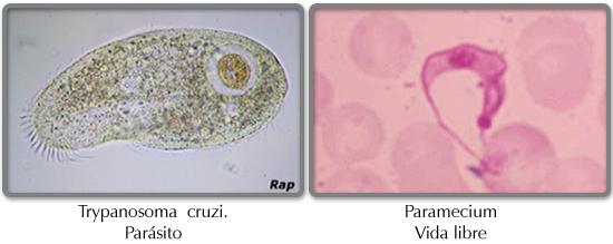 Protistas reproduccion asexual ejemplos